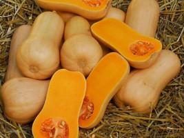 25 Waltham Butternut Squash 2019 (All Non-Gmo Heirloom Organic Seeds!) - $5.92