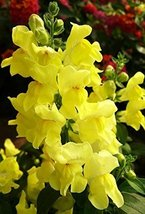 4g / 2000 Seeds of Snapdragon Zolotistyy - $19.48