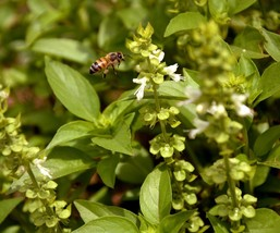 SHIP From US, 1/2 oz 9K Seeds Lime Basil Herb, DIY Herb Seeds ZJ01 - $41.97