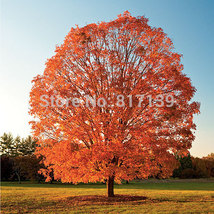 10 Seeds Northern Sugar Maple Acer Saccharum Rock Maple Fall Colors Tree Seeds - $4.22