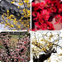 10 Seed Heirloom Yellow Red Pink Wintersweet Calyx Canthu, DIY Beautiful... - $8.99