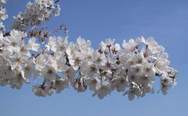 Yoshino Flowering Cherry Tree image 2