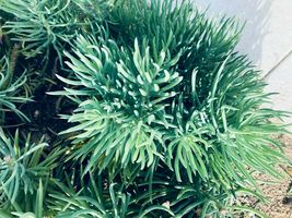 1,2,3,4,5,9 Cutting - Senecio Vitalis Blue Serpents Chalk Fingers Sticks #LRNG12 - $21.99+