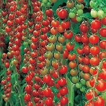 BEST PRICE 100 Seeds Rare Dolce Vita Organic Tomato,DIY Vegetable Seeds ... - $5.00