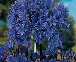 Plant Agapanthus - 'Storm Cloud' - Lily of the Nile (It's not seeds) - $627,57 MXN