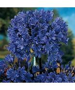 Plant Agapanthus - 'Storm Cloud' - Lily of the Nile (It's not seeds) - $28.99