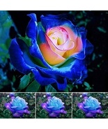 50pcs Rare Blue-Pink ROSE Flower Seeds yard Bonsai Garden Decoration  - $9.99