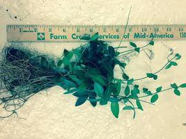 100 Vinca Minor vine Periwinkle graveyard ground cover  image 4