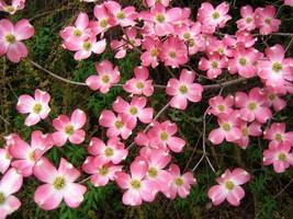 "Pink Dogwood tree 8-12"" tall 2 1/2"" pot image 2"