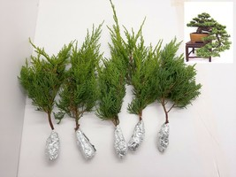 5 Juniperus Chinensis Gold Coast Tree Cutting - $29.60