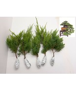 5 Juniperus Chinensis Gold Coast Tree Cutting - $29.60