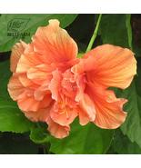 10 Seeds Hibiscus Rosa-sinensis Flower,DIY Decorative Plant - $3.99