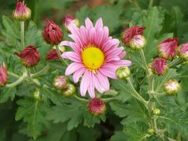 Lives Plant Daisy Mums - $22.50
