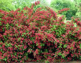 Ruby Red Weigela (Weigela rubrun) image 4