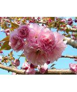 Kwanzan Flowering Cherry Tree LIVE PLANT - $39.99