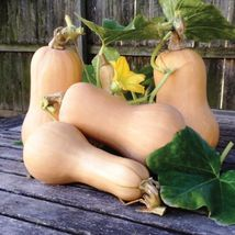 BEST PRICE Butternut Winter Squash, AM DIY Home Garden FRUIT 10 Seeds - $23.99