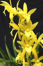 Cymbidium Golden Elf , orchid plant IN POT - $48.93