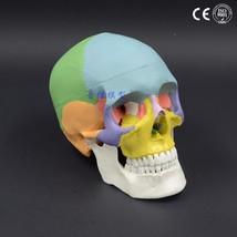 Human Head Model Anatomy 1:1 Natural Skull Adult Head Medical Teaching 1... - $53.20