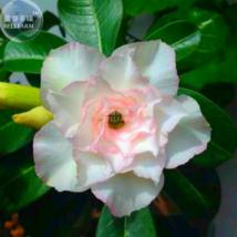 Adenium Whitish Light Water Pink Petals Flower Seed, 2 seeds, profession... - $4.20