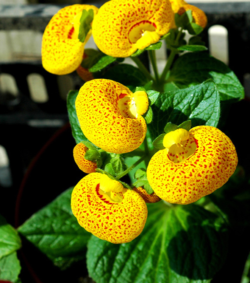 Primary image for 30 Calceolaria Seeds Calceolaria herbeohybrida Slipperwort Garden Flowers