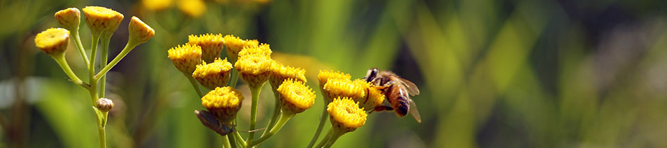 image of bee on yellow flowers