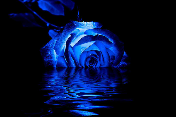 Blue rose image thumb960