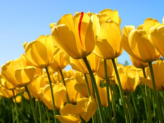 Tulips thumb960