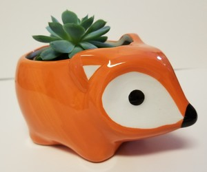 "Echeveria Elegans Succulent Ceramic Pot Live Plant 5"" Orange Flora Fox Planter, an item from the 'Pretty Planters' hand-picked list"