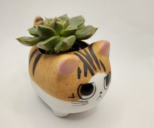 "Graptoveria Olivia Succulent in Cat Planter - 2.5"" Kitty Kitten Ceramic Pot, an item from the 'Indoor Garden' hand-picked list"
