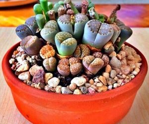 Rare Lithops Mix succulent cactus Exotic living stones desert rock seed 50 Seeds, an item from the 'Rockstars' hand-picked list