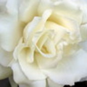 White rose thumb175