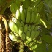 Banana bunch island 2006  2 thumb175