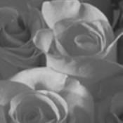 Roses thumb175
