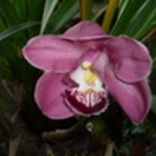Big orchid1 thumb175