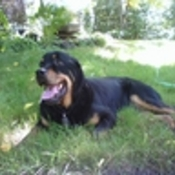 rottnweiler's profile picture