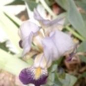 Iris thumb175