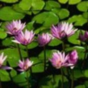 Water lilies thumb175