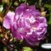 Purplerose1 thumb175
