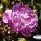 Purplerose1 thumb48