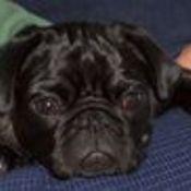 pugmama's profile picture