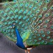 Peacock 3 thumb175