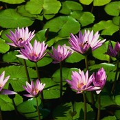 Water_lilies_thumb175