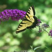 Butterflies buddlea 7 15 07 009 thumb175