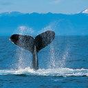 Humpback whale thumb128