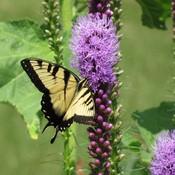 Swallowtail b fly1 thumb175