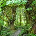 Hoh rain forest 1 thumb128