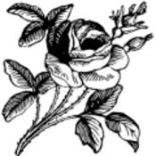 Rose thumb175
