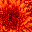 Chrysanthemum thumb128