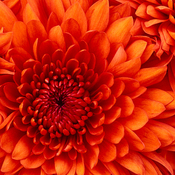 Chrysanthemum thumb175