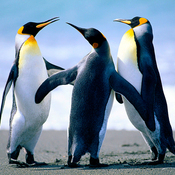 Penguins thumb175